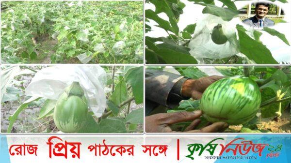 """"""" কৃষি অন্বেষণ""""পর্ব-২৪# বিষয়ঃ ব্রিনজাল (বেগুন) ফ্রুট ব্যাগিং 🍆🍆"""